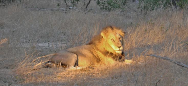 lion.gif