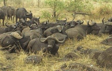 Cape buffalo lying down