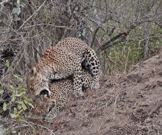 leopards-mating